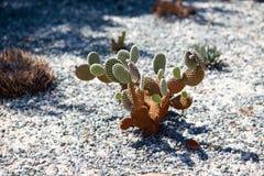 Cactus bij botanische tuin Stock Afbeeldingen