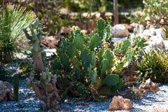 Cactus bij botanische tuin Stock Fotografie