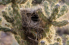 Cactus Bird Nest Royalty Free Stock Photography