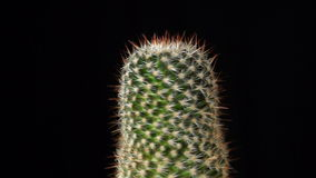 Cactus on black background, seamless loop footage stock video footage