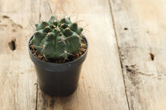Cactus. In black jardiniere on wood table Stock Photos