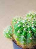 Cactus. In black pot with shallow depth of field . Use for background Stock Photography