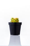 Cactus in black pot Royalty Free Stock Photography