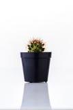Cactus in black pot Stock Images