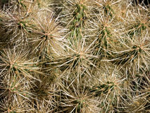 Cactus blanc épineux d'opuntia Photo libre de droits