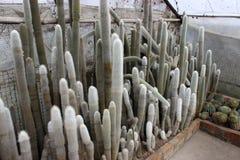 Cactus blanc dans un jardin de cactus sur Kalimpong dans le secteur de Darjeeling Photo libre de droits