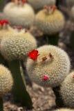 Cactus blanco 1 Imagen de archivo