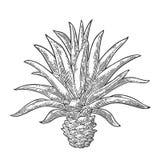 Cactus blauwe agave Uitstekende vectorgravureillustratie voor etiket, affiche vector illustratie