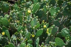 Cactus in bloei Stock Foto