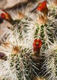 Cactus in bloei stock afbeeldingen