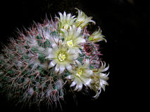 Cactus in bloem Stock Foto