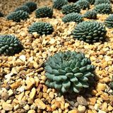 Cactus, Bloemkoepel Royalty-vrije Stock Foto's