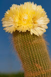 Cactus in Bloom Royalty Free Stock Image