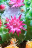 Cactus Bloom. A close up of a pink flower in full bloom on top of a green cactus Stock Photography