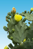 Cactus Bloom Royalty Free Stock Images