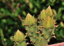 Cactus bloom buds Royalty Free Stock Photo