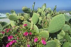 Cactus in Bloom, CA, Pacific Coast Highway Stock Photos