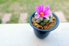 Cactus Bloom flower Royalty Free Stock Images