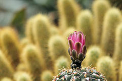 Cactus in bloom Royalty Free Stock Photo