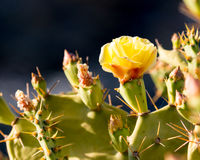 Yellow Cactus flower in bloom. Yellow Cactus flower Opuntia ficus Royalty Free Stock Photos