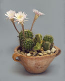 Cactus Bloomed. Pottery pot with Cactus bloom over gray background Stock Images