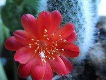 Cactus bloomed big beautiful red flower royalty free stock photography