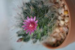Cactus blooming beautiful and pleasant. royalty free stock photos
