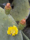 Cactus blooming canary islands. Royalty Free Stock Image