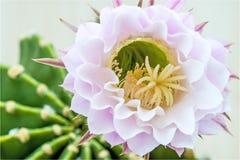 Cactus blooming Stock Image