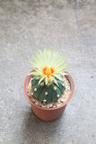 Cactus with blooming flower on concrete background Stock Photography