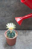 Cactus with blooming flower and red watering can. Cactus with blooming yellow flower and red watering can on concrete background stock photography
