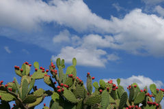 Cactus. Blooming cactus framed against a puffy cloudy sky royalty free stock photography