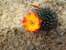 Cactus blooming Stock Photos