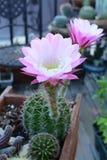 Cactus blooming in the garden. Stock Image