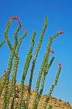 Cactus - Blooming Ocotillo Stock Photo