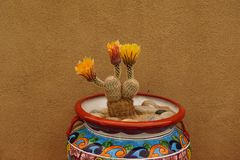 Cactus blooming in pot. Stock Photography