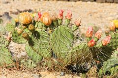 Cactus blooming Royalty Free Stock Image