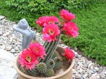 Cactus blooms Royalty Free Stock Image