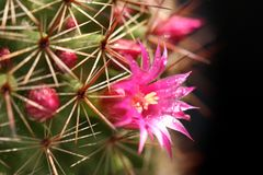 Cactus blooms colorful pink flowers  on black background Stock Photos