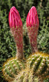 Cactus Blooms Royalty Free Stock Image