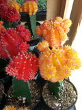 Cactus blooms Stock Photography