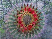 Cactus blooms Stock Photos