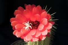Cactus blossom. Stock Images