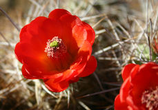 Cactus blossom closeup Royalty Free Stock Photos