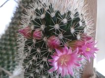 Cactus in blossom. Covered by pink flowers Royalty Free Stock Images