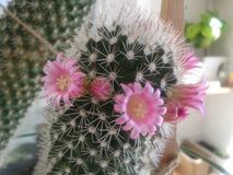 Cactus in blossom. Covered by pink  flowers Stock Image
