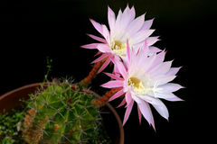 Cactus blossom Stock Photo