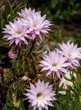 Cactus blossom on Kimolos island Royalty Free Stock Photos