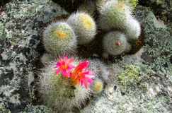 Cactus in blossom Royalty Free Stock Photo