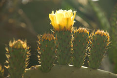 Cactus blossoming Royalty Free Stock Photography
